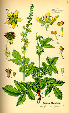 220px Illustration_Agrimonia_eupatoria0
